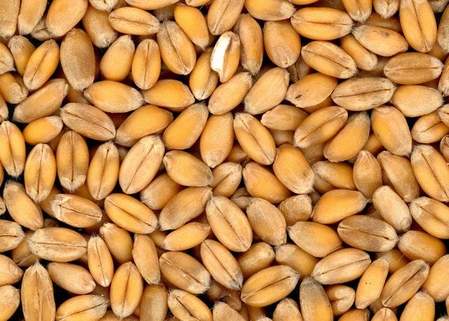 obilí, pšenice, zrna